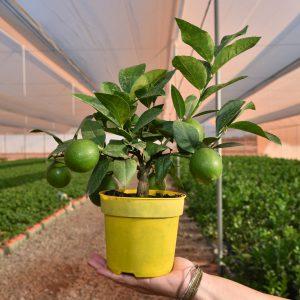 Citrus plant met vruchten